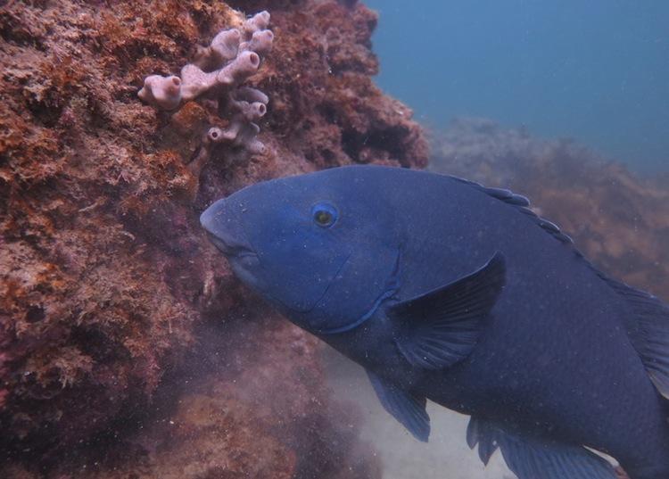 Blue Fish_1594 A viridis