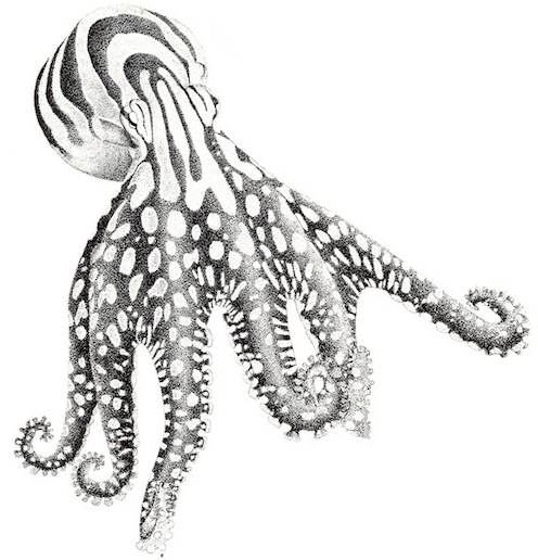 Larger Pacific Striped Octo Rodaniche drawing Crp3