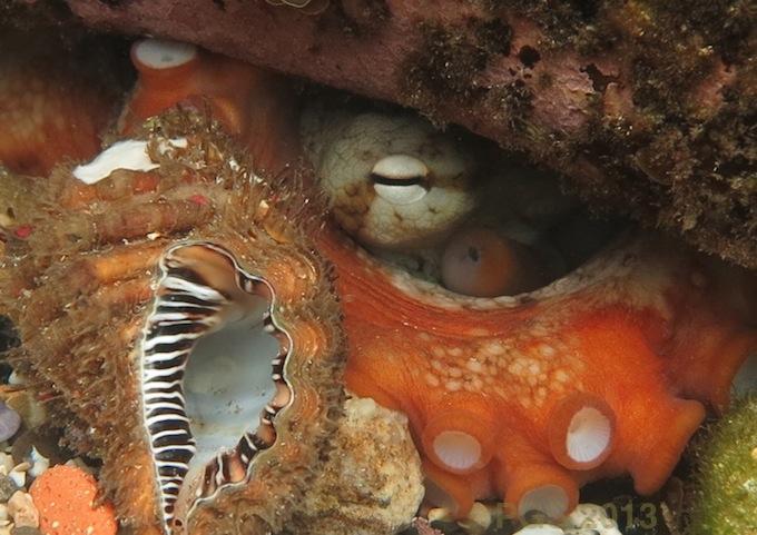 Octopus_PGS_3134