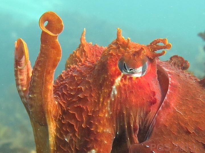 Cuttlefish_Papillae_PGS_3556 800