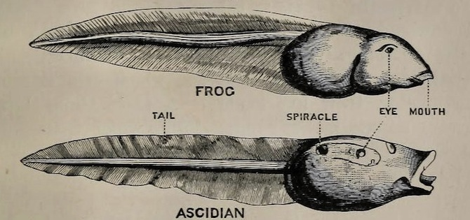 Ascidian and frog tadpole - Br Museum 1901