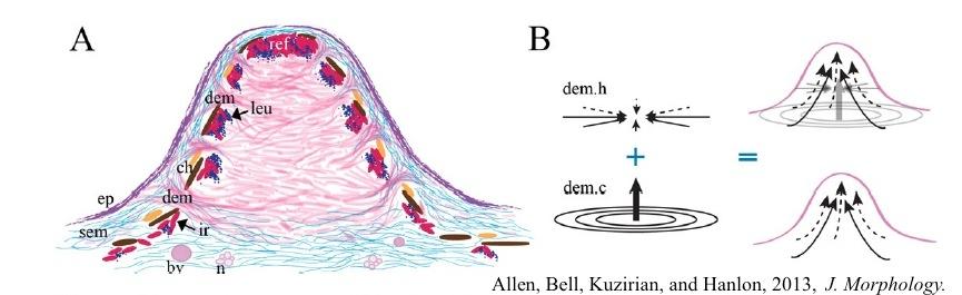 Allen et al papillae figure small