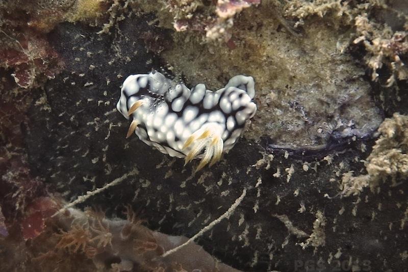 Goniobranchus geo PGS_7541