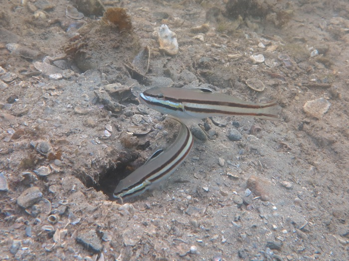 Sleeper Gobies_8777 -